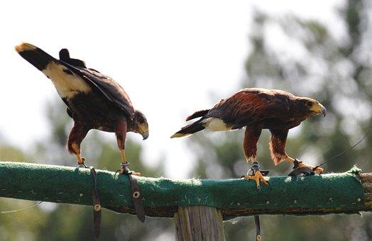 Falcon, Birds, Raptor, Animal, Falconry, Feather