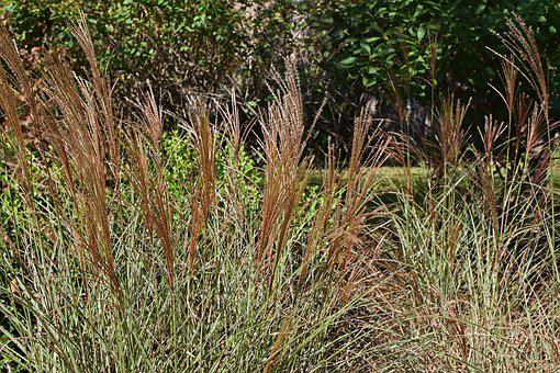 Fall, Feather Grass, Ornamental Grass, Grass, Plant