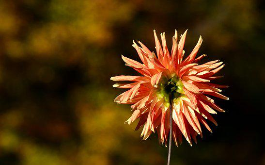 Dahlia, Back, Flower, Plant, Flower Garden, Orange