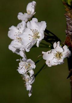 Blossom, Flowers, Nashi Pear, Asian Pear