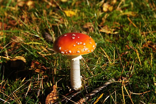 Fly Agaric, Toxic, Forest, Forest Floor, Autumn, Red
