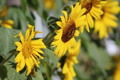Sunflower, Summer, Garden, Yellow, Flower, Natural