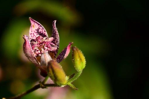 Spurge, Griffith's Spurge, Euphorbia Griffithii, Flower