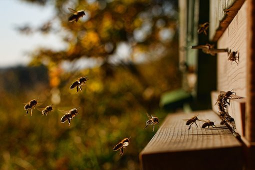 Honey Bee, A Bee Flying Into The Hive