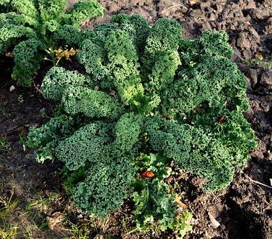 Kale, Eat, Bio, Meal, Vegetable Plant
