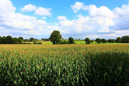 Cornfield, Landscape, Field, Corn, Summer, Agriculture