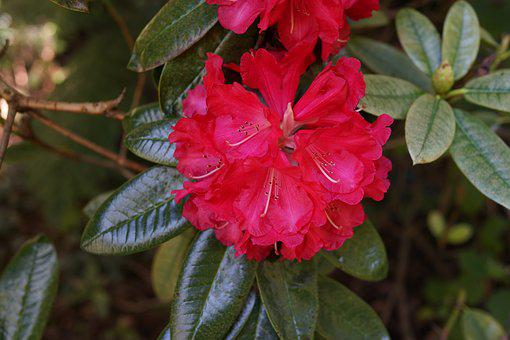 Native Flowers, Blooming, National Rhododendron Garden