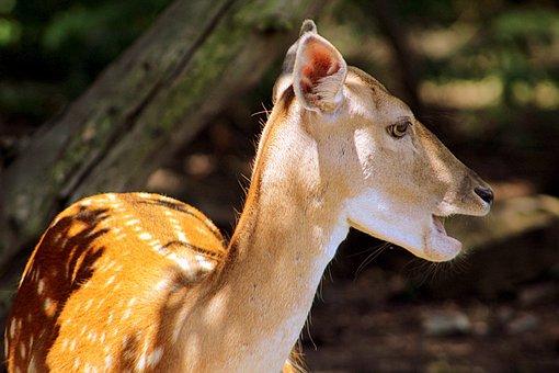 Deer, Animal, Fallow, Nature