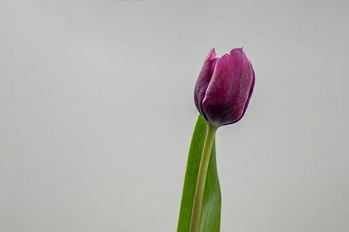 Tulip, Flower, Nature, Isolated, Pink, Tulpenbluete