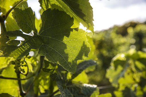 Wine, Vineyard, Vine, Vines, Grapevine, Summer, Nature