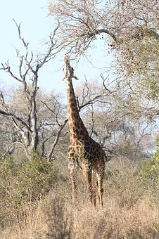 Tall, Giraffe, Africa, Animal, Safari, Wildlife, Neck