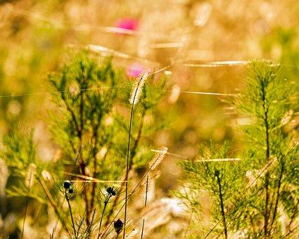 Foxtail, Meadow Fox-tail, Plant, Lights Up, Evening Sun