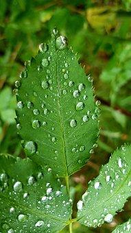 Leaf, Rain, Dew, Plant, Pearl, Growth, Nature