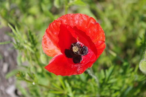 Large Poppy, Red Flower, Red