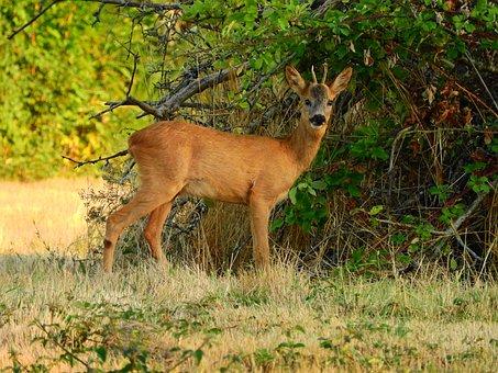 Roe Deer, Forest, Attention, Scheu, Forest Animal