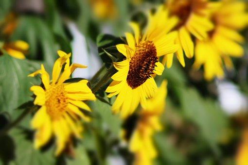 Sunflower, Summer, Garden