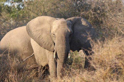 Elephant, Tusks, Ivory, African, Wild, Animal, Mammal
