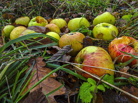 Windfall Apples, Apples, Autumn, Autumn Leaves