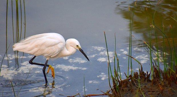 White Crane, Fishing, Aquatic Bird, Pond