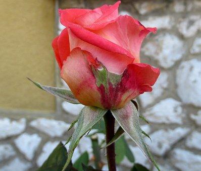 Autumn, Flower Buds, Rose