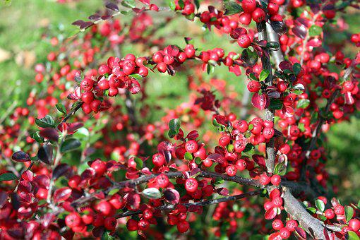 Cotoneaster, Bush, Ornamental Plants, Fruit, Beads