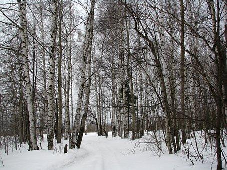Winter, Forest, Birch, Frost, Winter Forest, Snow