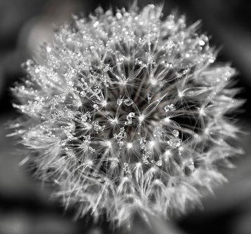 Nature, Flower, Dandelion, Blossom, Bloom