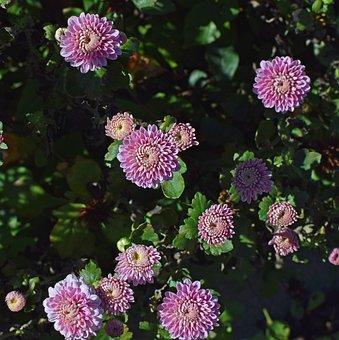 Fall Pink-purple Mums, Chrysanthemum, Flower, Blossom