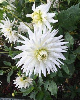 Autumn Flower, White, Chrysanthemum, Garden, Close