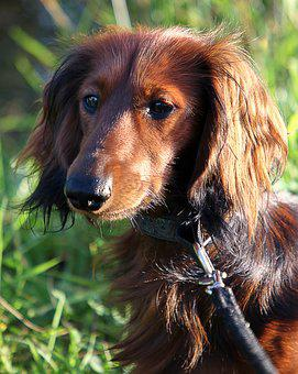 Dachshund, Long Hair Dachshund, Dachshund Dog, Dog