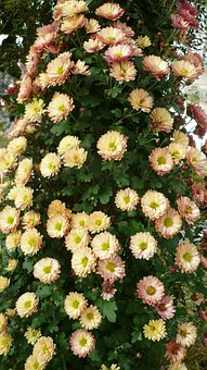 Asters-tree, Flower, Decorative, Flowers White, Some