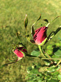 Rose, Garden, Flower, Thorn
