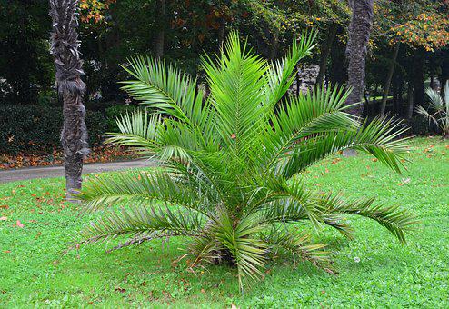 Plant Palm Tree, Palm, Color, Garden, Beautiful Tree