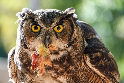 Owl, Grand Duke, Prey, Raptor, Bird