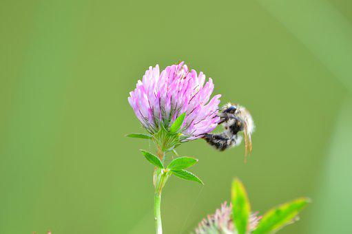 Flower, Blossom, Bloom, Hummel, Insect, Nature