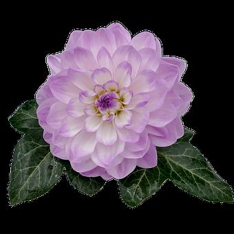 Dahlia, Dahlia Flower, White, Violet, Ivy, Ivy Leaf