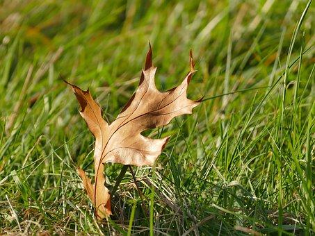 Autumn, Nature, Leaf, Oak Leaf, Pedunculate Oak, Brown