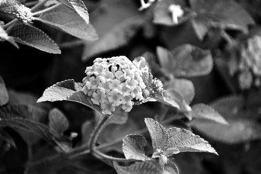 Bunch Of Small Flowers, Monochrome, White Flowers