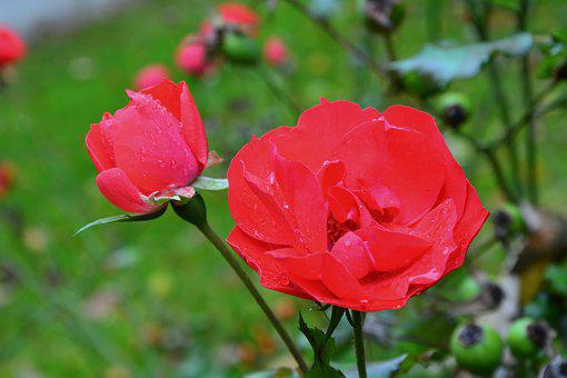 Pink, Red Rose, Rosebush, Petals, Nature, Plant