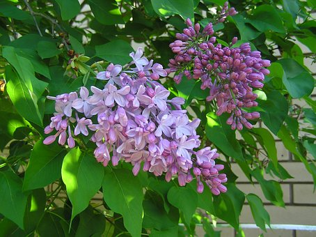 Spring, Lilac, Tree, Flower
