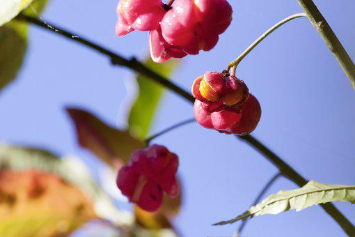 Fruit, Seeds, Boll, Red, Autumn, Ordinary Spindle Shrub