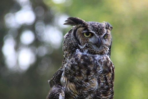 Owl, Close-up, Washington State