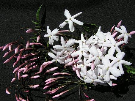 Jasmine, White, Aroma, Spring