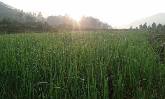 Mist, Landscape, Rice Grass, Sunshine, Nature, Field