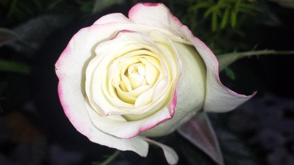 Rose, White Rose, White, Flower, Romance, Floral, Love