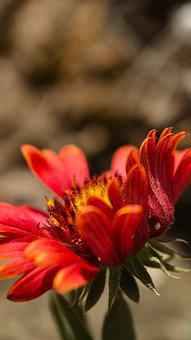 Flower, Red, Floral, Nature, Plant, Summer, Garden
