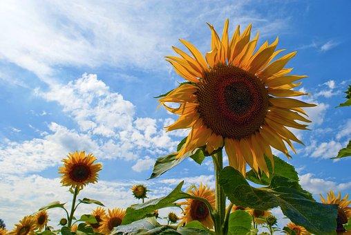 Sunflowers, Blue Sky, Sunflowers Against A Blue Sky