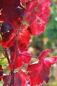 Wine, Vine Leaves, Autumn