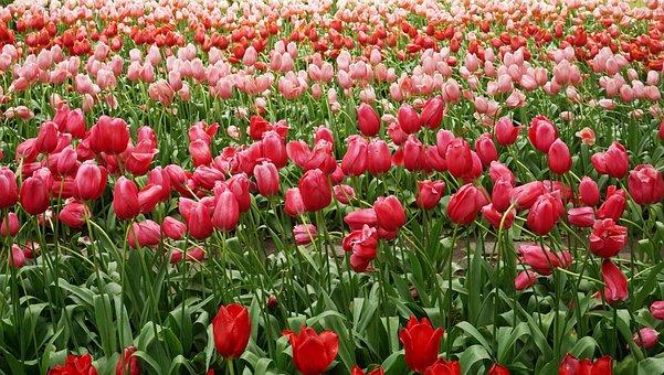 Keukenhof Tulip, Background, Wallpaper, Flower, Flowers