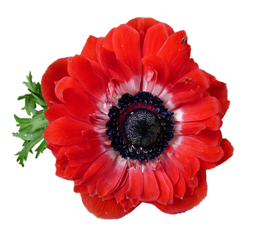 Anemone, Red, Flower, Bloom